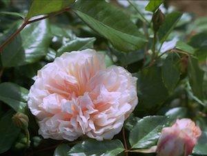 odorata - e io sono una rosa